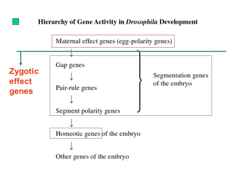 Zygotic effect genes
