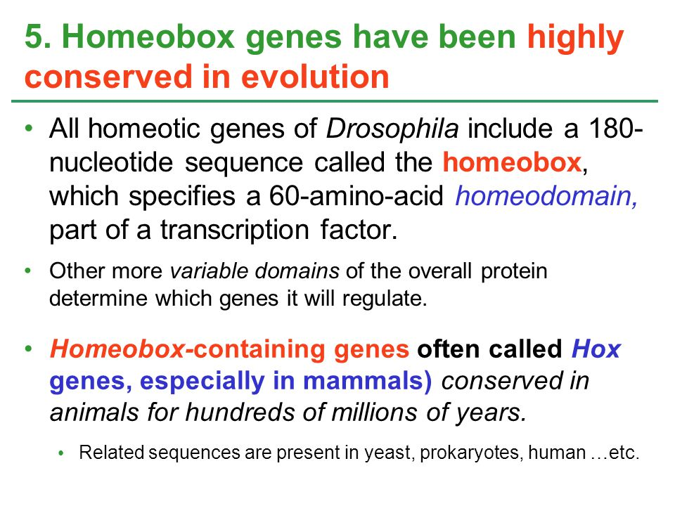 5. Homeobox genes have been highly conserved in evolution