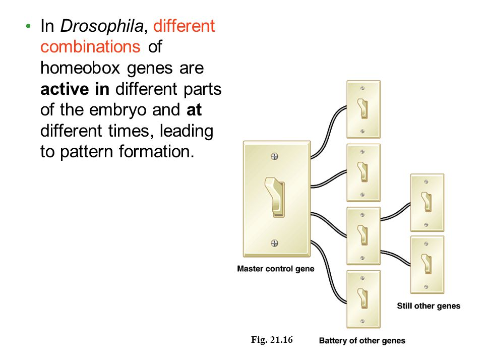 In Drosophila, different combinations of homeobox genes are active in different parts of the embryo and at different times, leading to pattern formation.