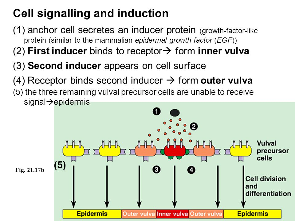 Cell signalling and induction