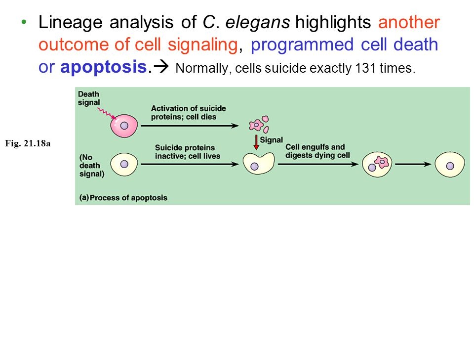 Lineage analysis of C. elegans highlights another outcome of cell signaling, programmed cell death or apoptosis. Normally, cells suicide exactly 131 times.