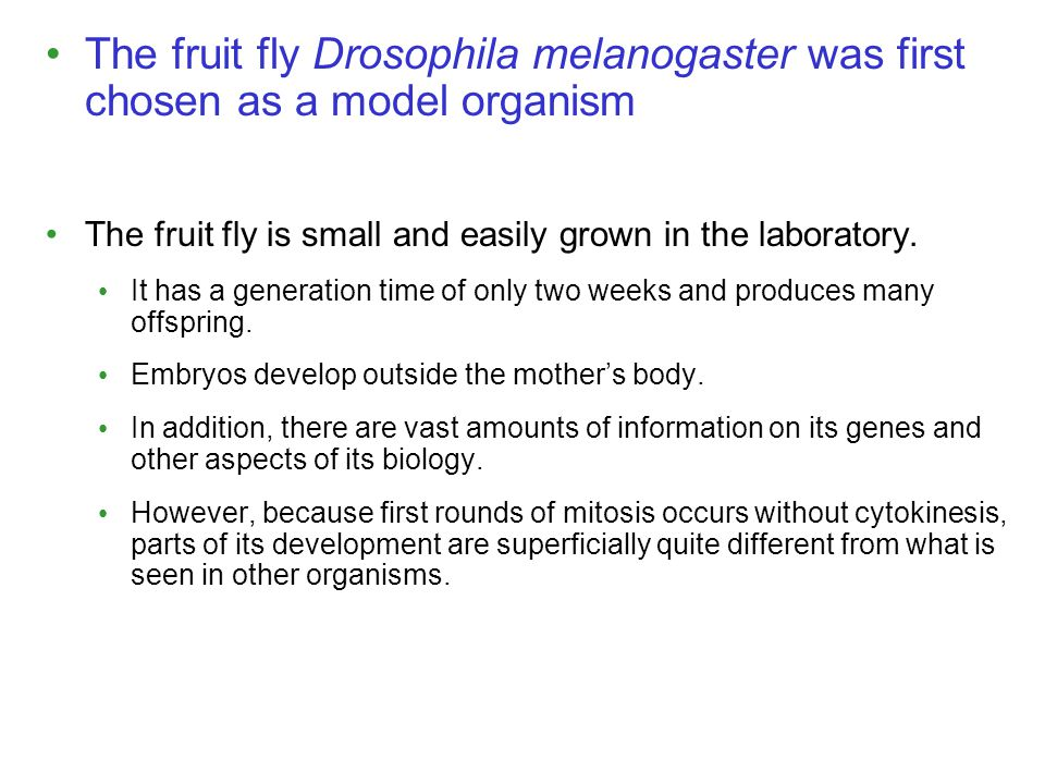 The fruit fly Drosophila melanogaster was first chosen as a model organism