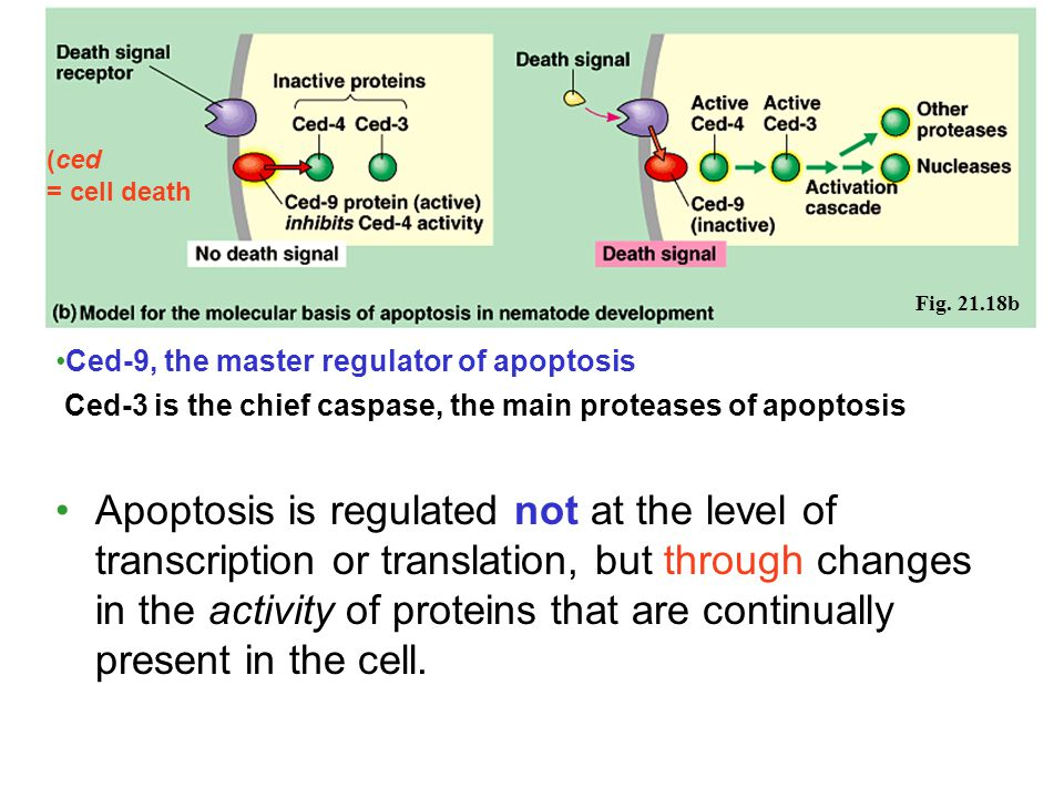 (ced = cell death. Fig. 21.18b. Ced-9, the master regulator of apoptosis. Ced-3 is the chief caspase, the main proteases of apoptosis.