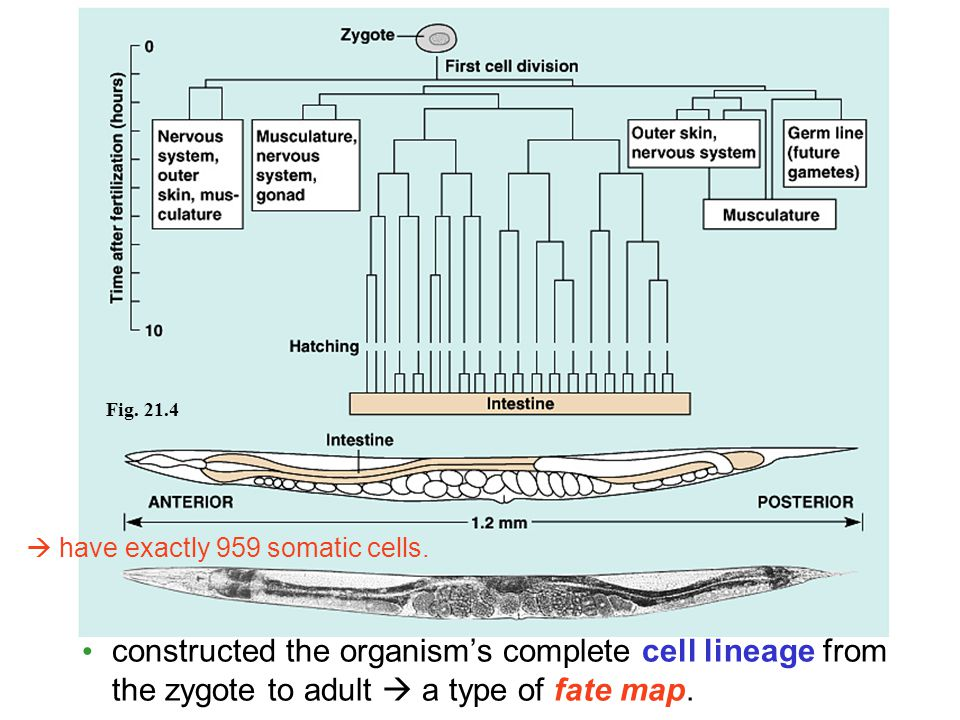 Fig. 21.4  have exactly 959 somatic cells.