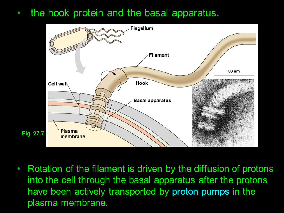 the hook protein and the basal apparatus.