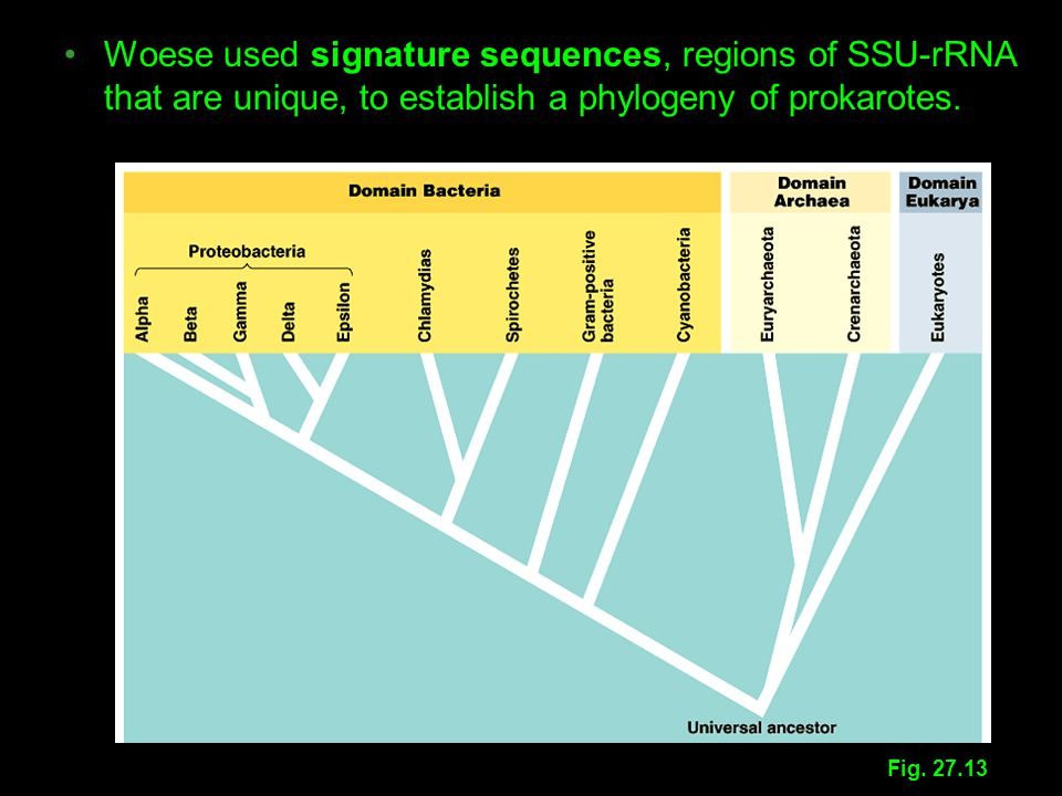 Woese used signature sequences, regions of SSU-rRNA that are unique, to establish a phylogeny of prokarotes.