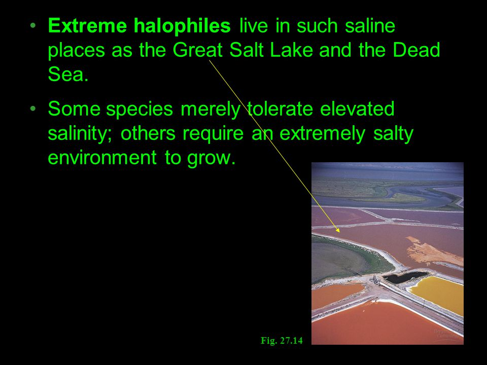 Extreme halophiles live in such saline places as the Great Salt Lake and the Dead Sea.