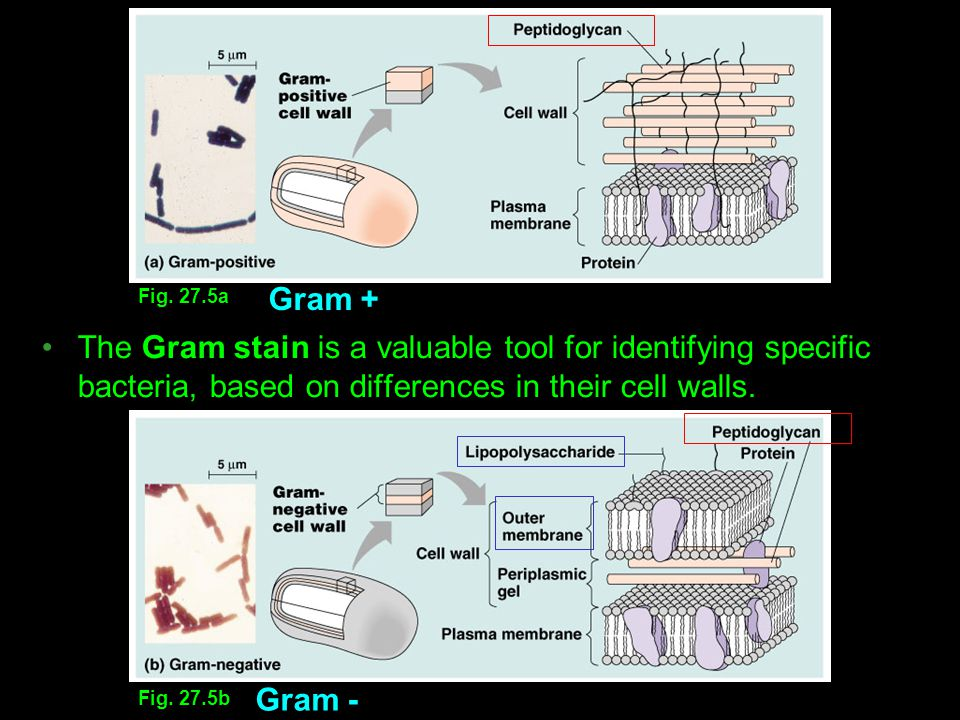 Fig. 27.5a Gram + The Gram stain is a valuable tool for identifying specific bacteria, based on differences in their cell walls.