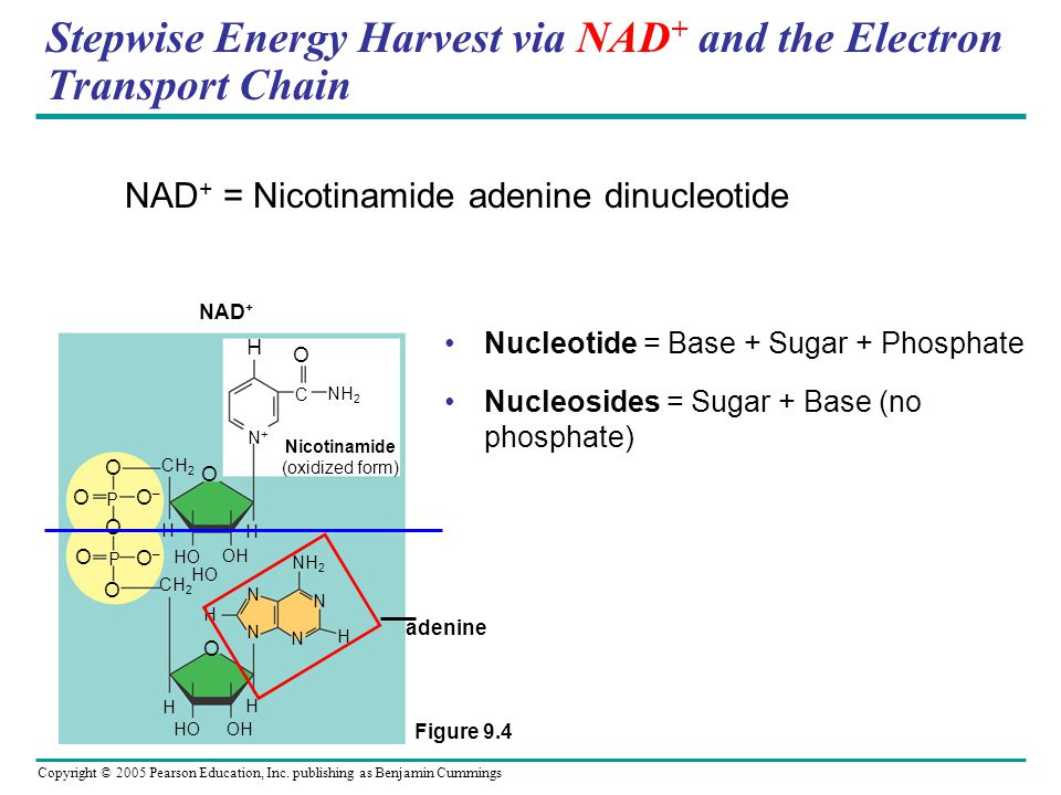 Stepwise Energy Harvest via NAD+ and the Electron Transport Chain
