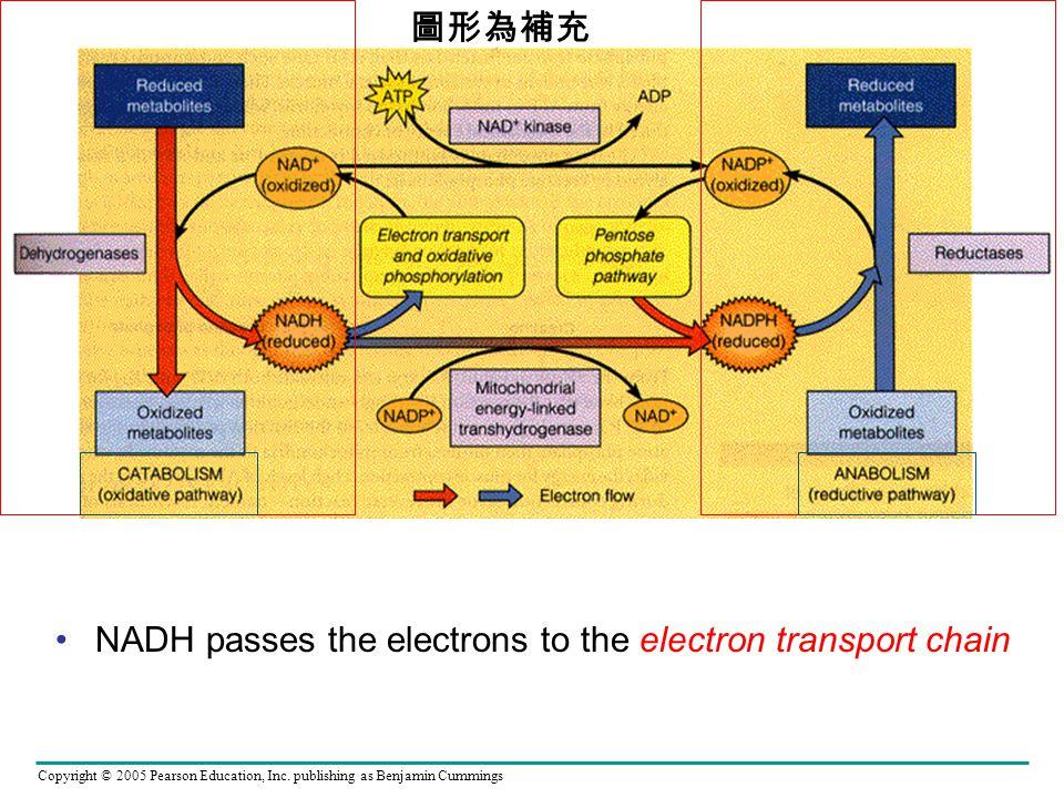 圖形為補充 NADH passes the electrons to the electron transport chain