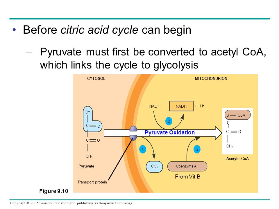 Before citric acid cycle can begin