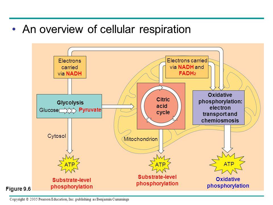 Oxidative phosphorylation: electron transport and chemiosmosis