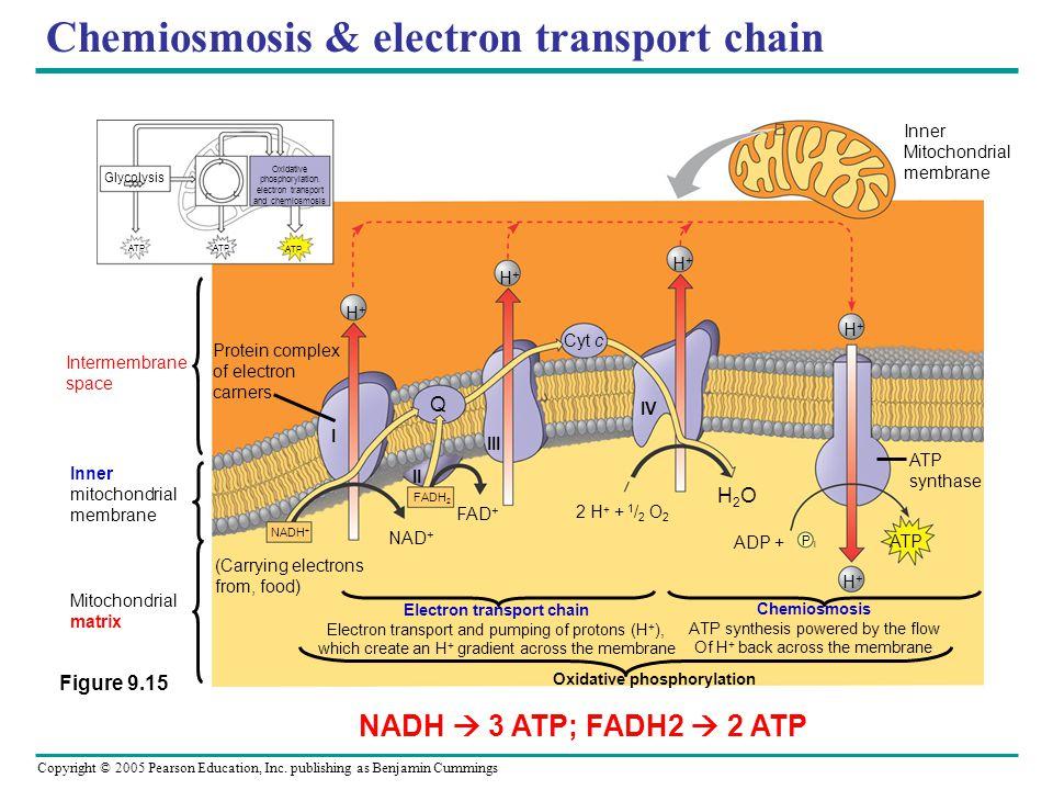 Chemiosmosis & electron transport chain