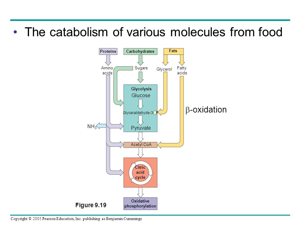 The catabolism of various molecules from food