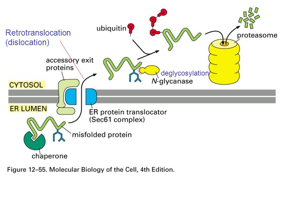 Retrotranslocation (dislocation) deglycosylation