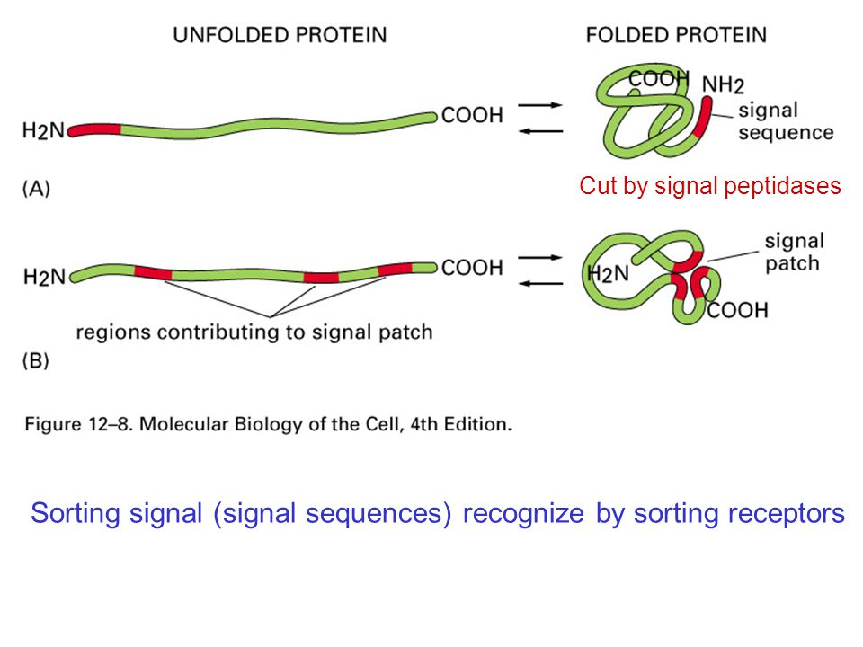 Sorting signal (signal sequences) recognize by sorting receptors