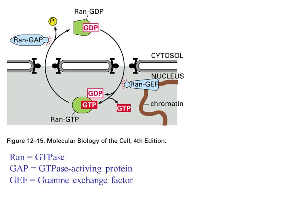 Ran = GTPase GAP = GTPase-activing protein GEF = Guanine exchange factor