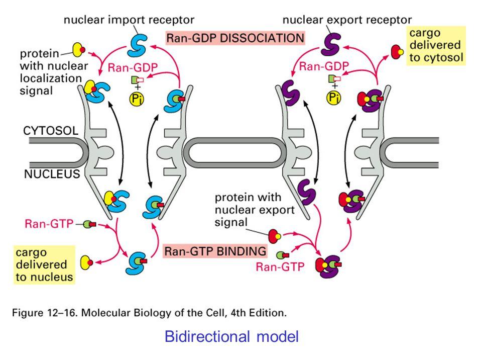 Bidirectional model