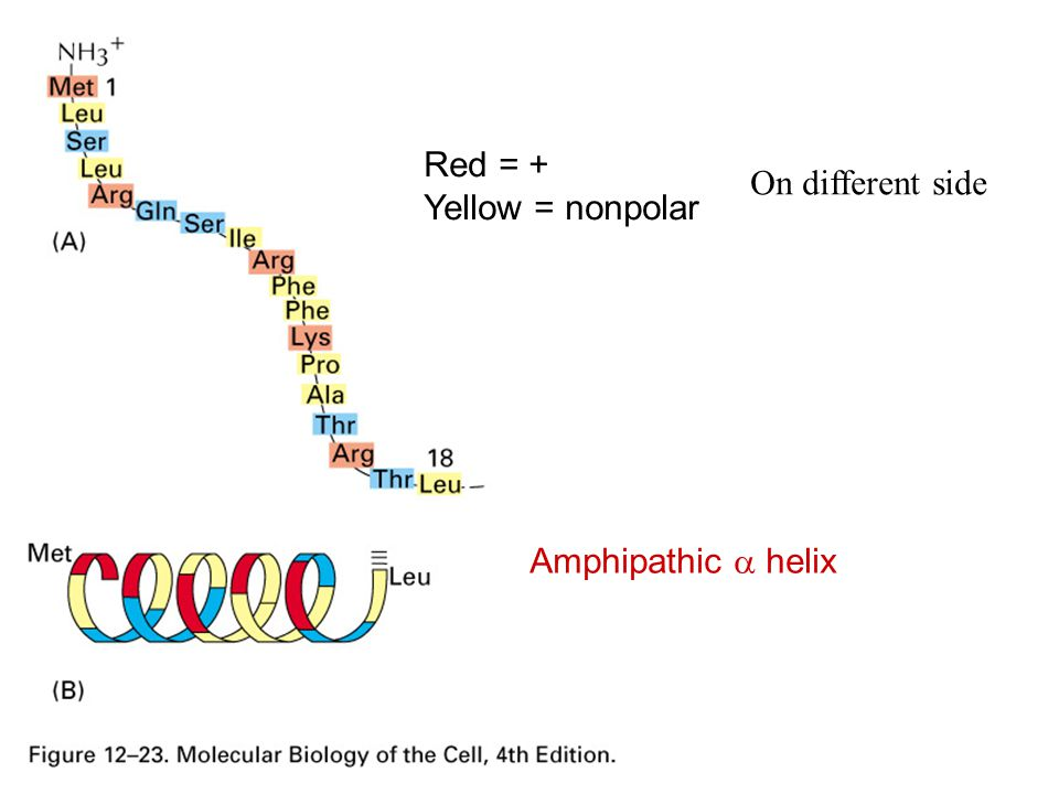 Red = + Yellow = nonpolar On different side Amphipathic a helix