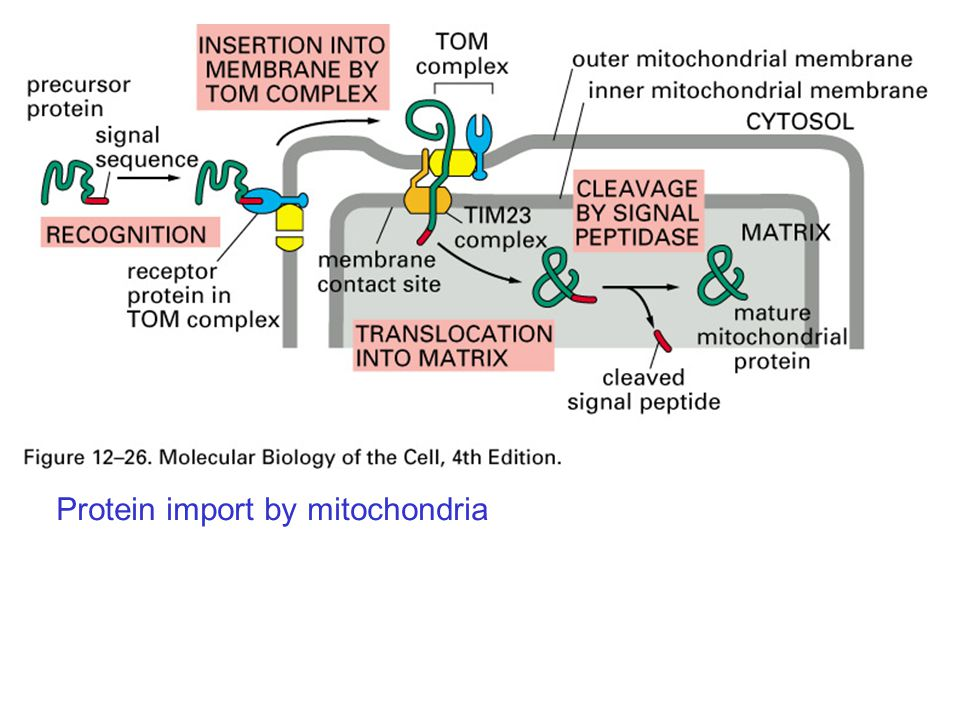Protein import by mitochondria