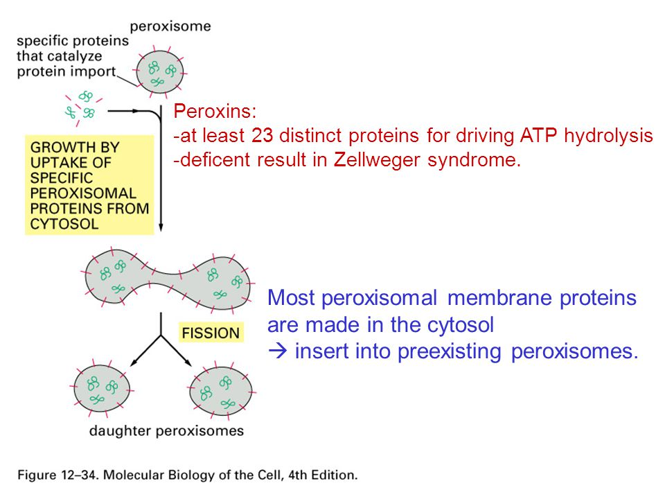 Most peroxisomal membrane proteins are made in the cytosol