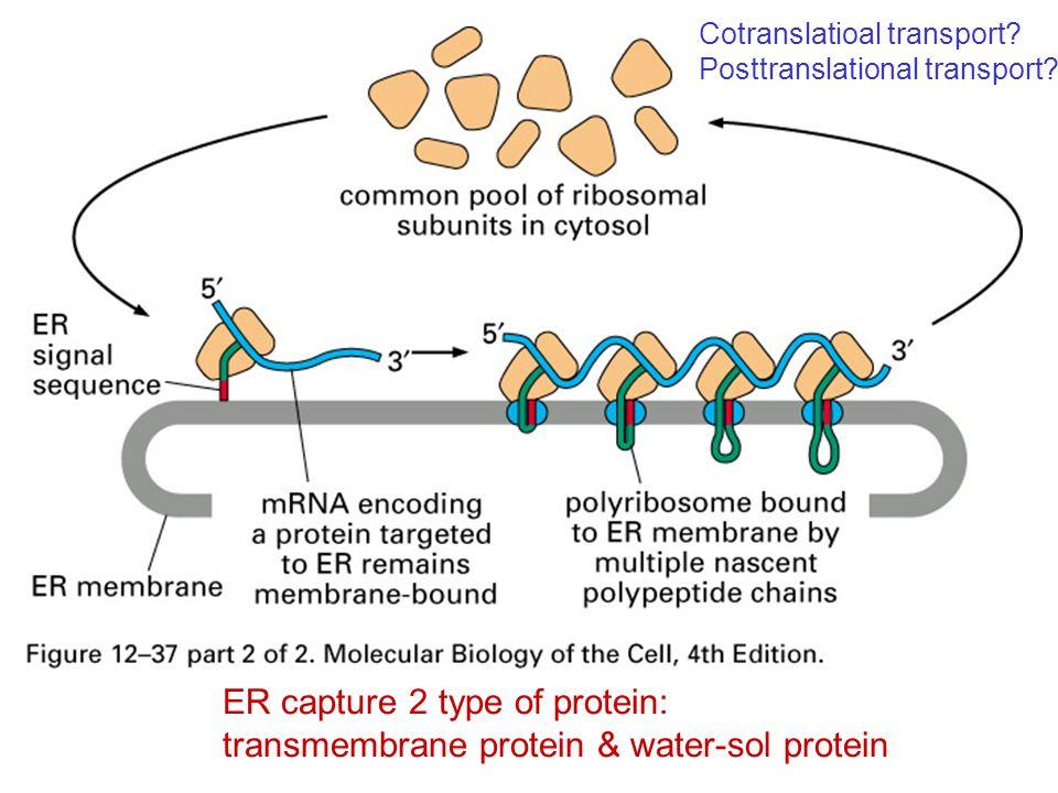 ER capture 2 type of protein: