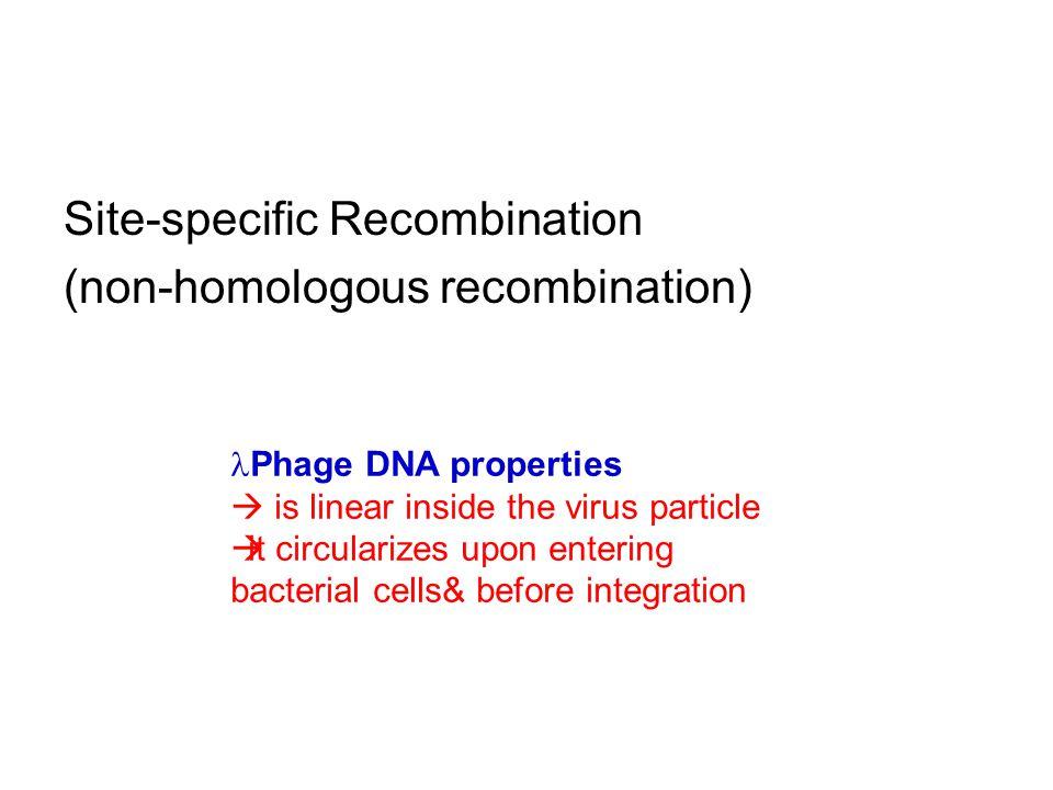 Site-specific Recombination (non-homologous recombination)