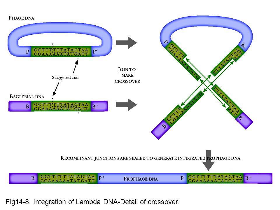 Fig14-8. Integration of Lambda DNA-Detail of crossover.