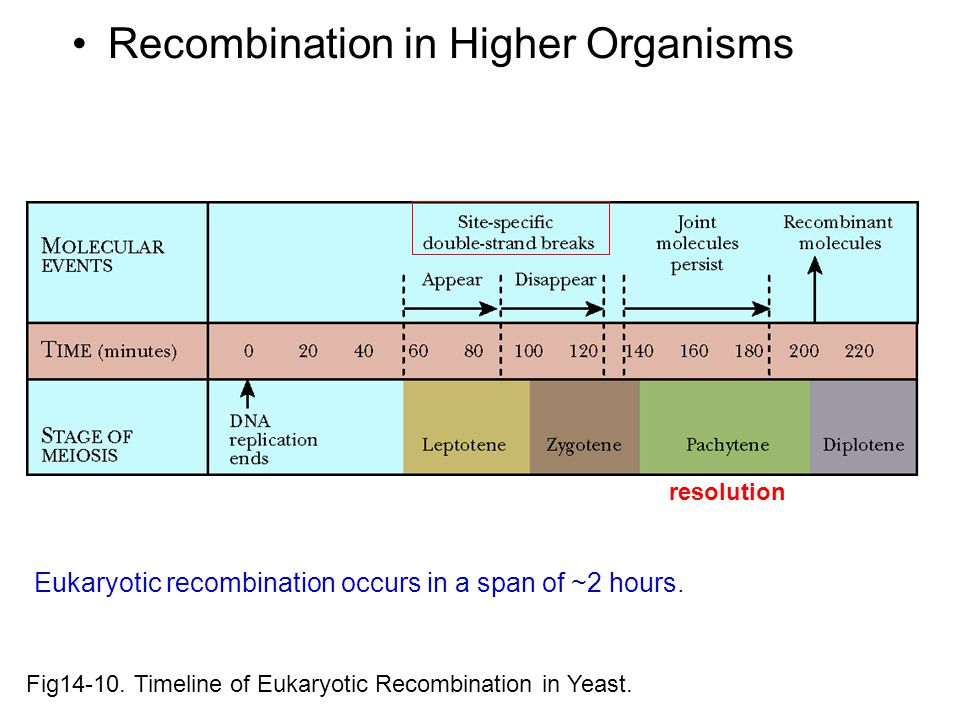 Recombination in Higher Organisms