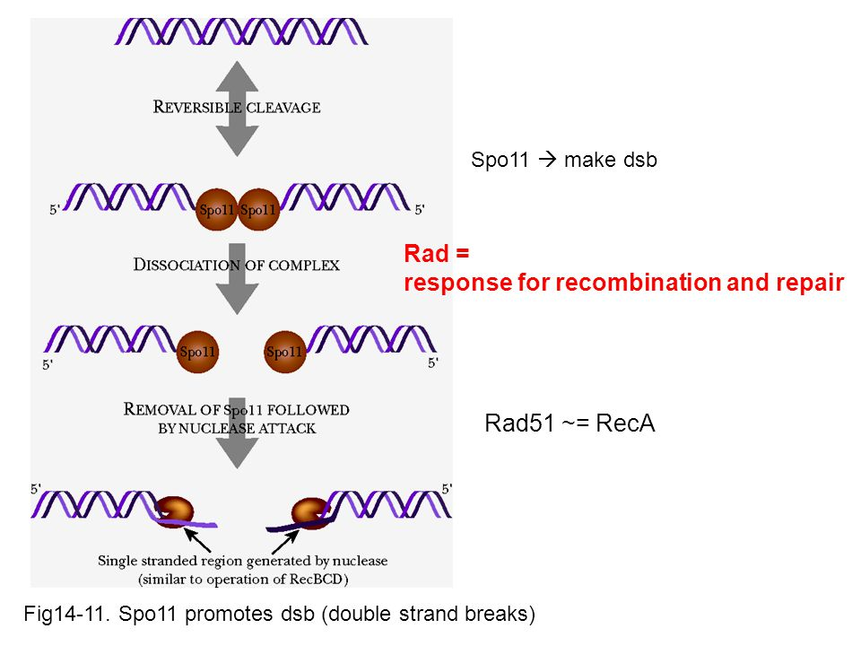 response for recombination and repair