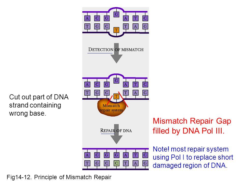 Mismatch Repair Gap filled by DNA Pol III.