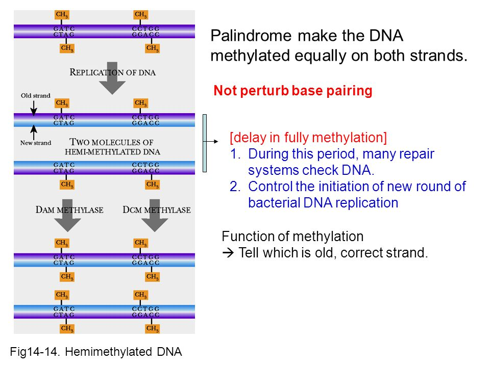 Palindrome make the DNA methylated equally on both strands.