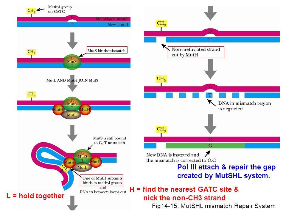 Pol III attach & repair the gap created by MutSHL system.