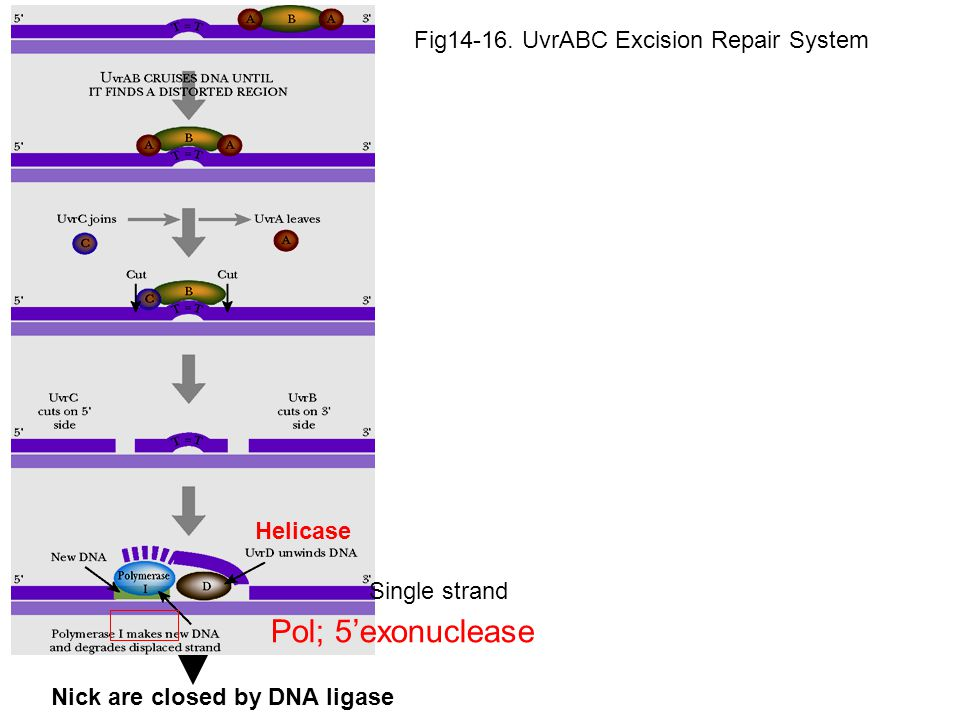 Pol; 5'exonuclease Fig14-16. UvrABC Excision Repair System Helicase
