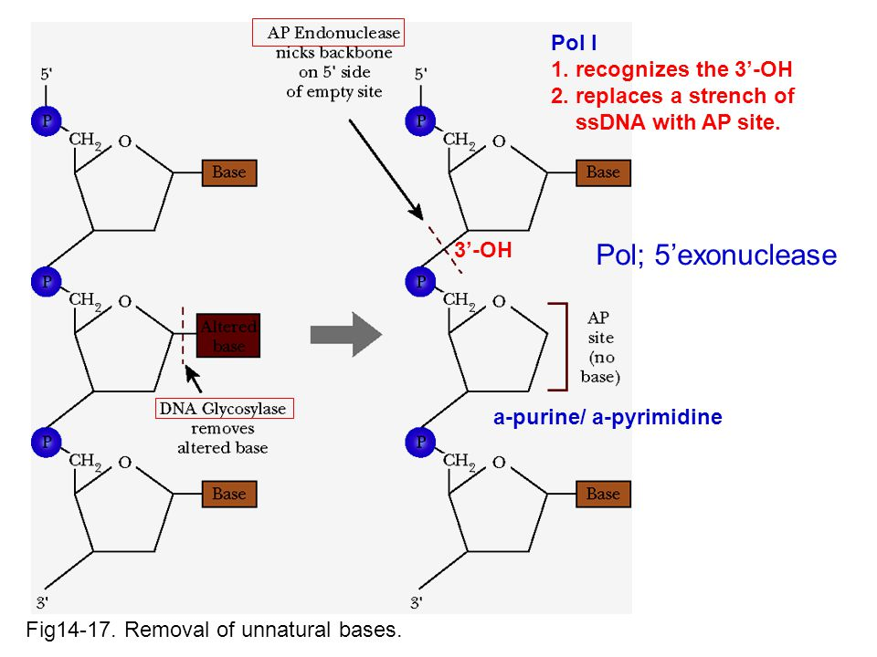 Pol; 5'exonuclease Pol I 1. recognizes the 3'-OH