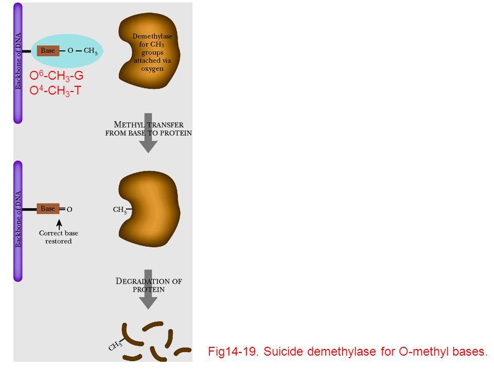 O6-CH3-G O4-CH3-T Fig14-19. Suicide demethylase for O-methyl bases.
