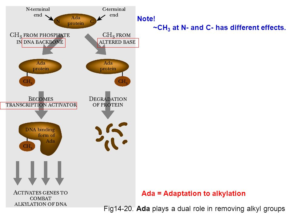 Note. ~CH3 at N- and C- has different effects. Ada = Adaptation to alkylation.
