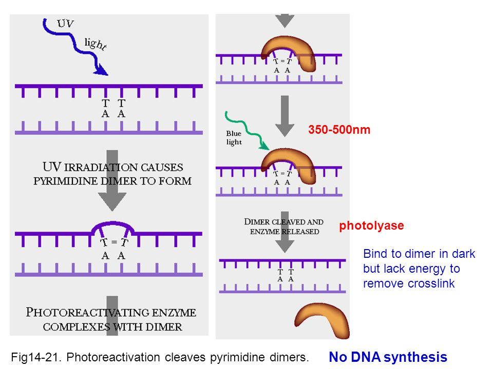 No DNA synthesis 350-500nm photolyase Bind to dimer in dark