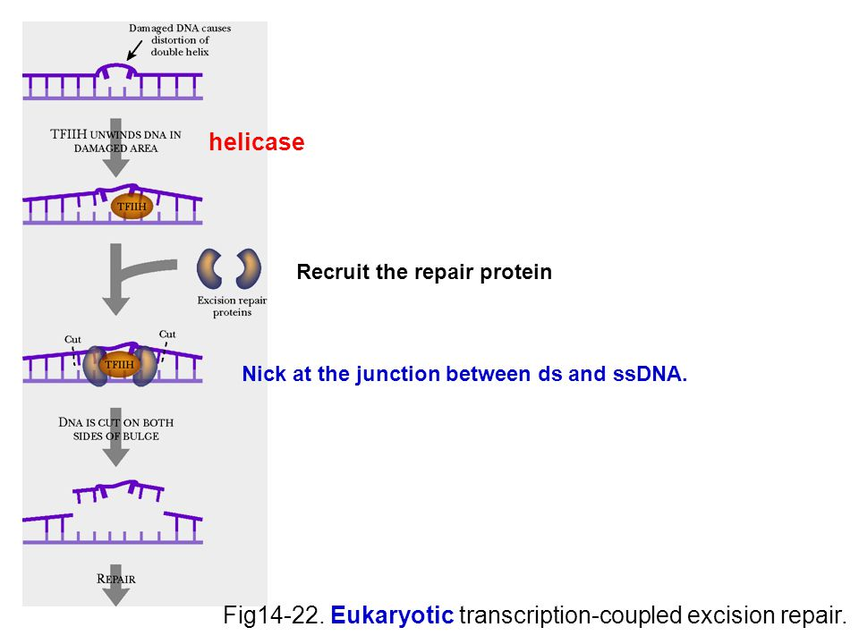 Fig14-22. Eukaryotic transcription-coupled excision repair.