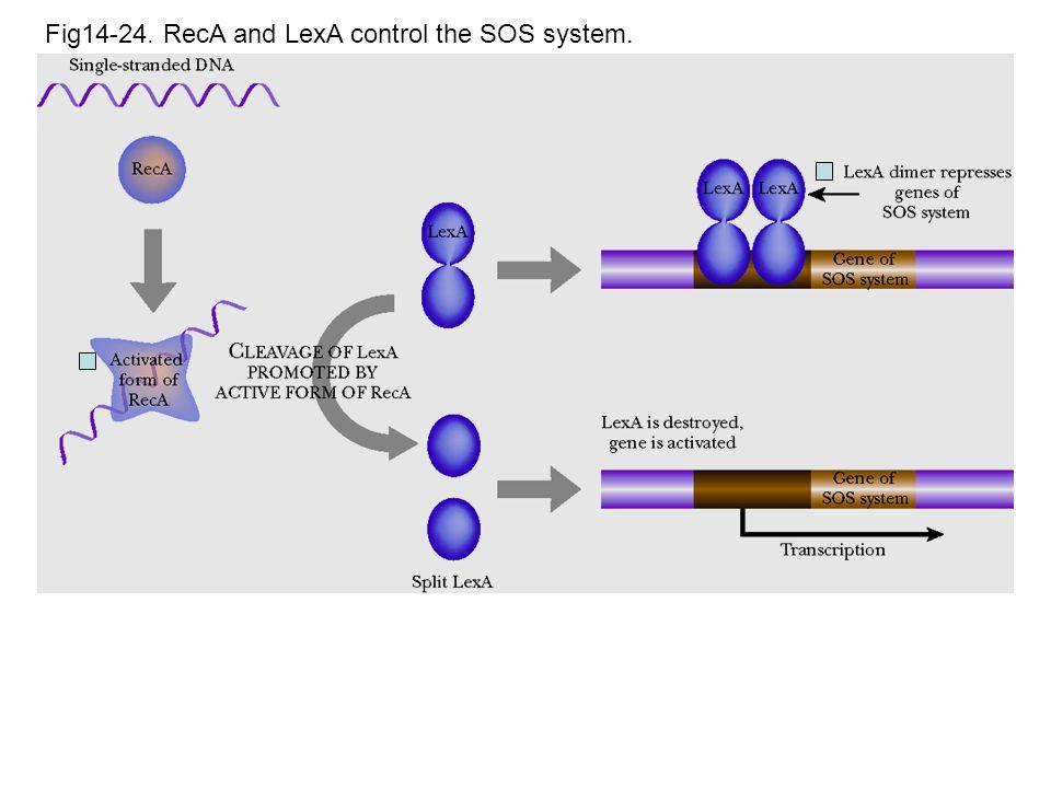 Fig14-24. RecA and LexA control the SOS system.