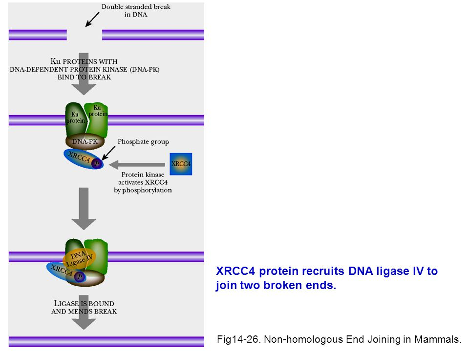 XRCC4 protein recruits DNA ligase IV to join two broken ends.