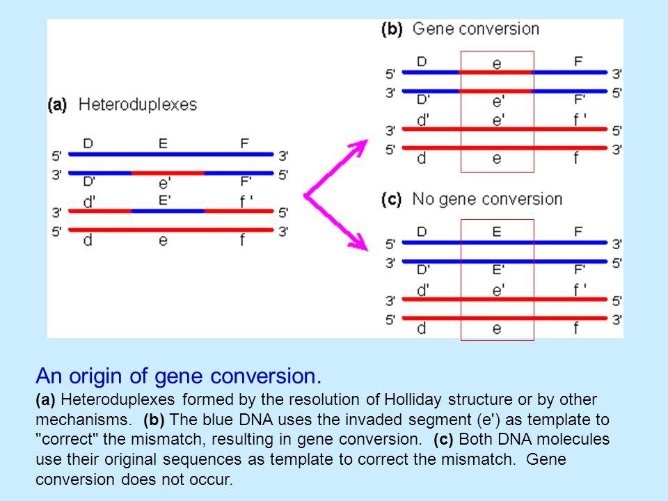 An origin of gene conversion.