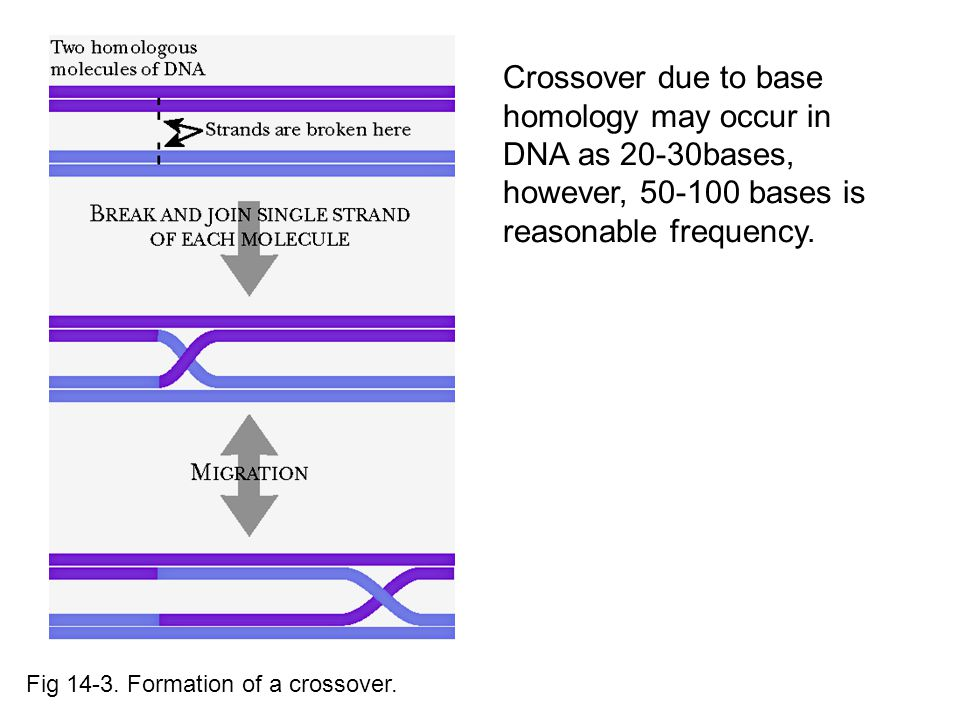 Crossover due to base homology may occur in DNA as 20-30bases, however, 50-100 bases is reasonable frequency.