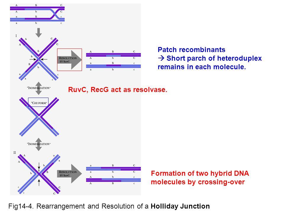 Patch recombinants  Short parch of heteroduplex remains in each molecule. RuvC, RecG act as resolvase.