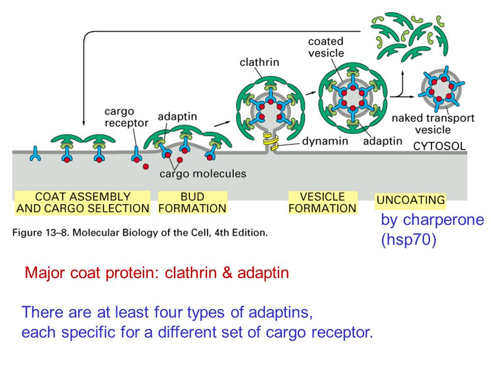 by charperone (hsp70) Major coat protein: clathrin & adaptin. There are at least four types of adaptins,