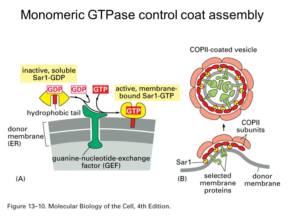Monomeric GTPase control coat assembly