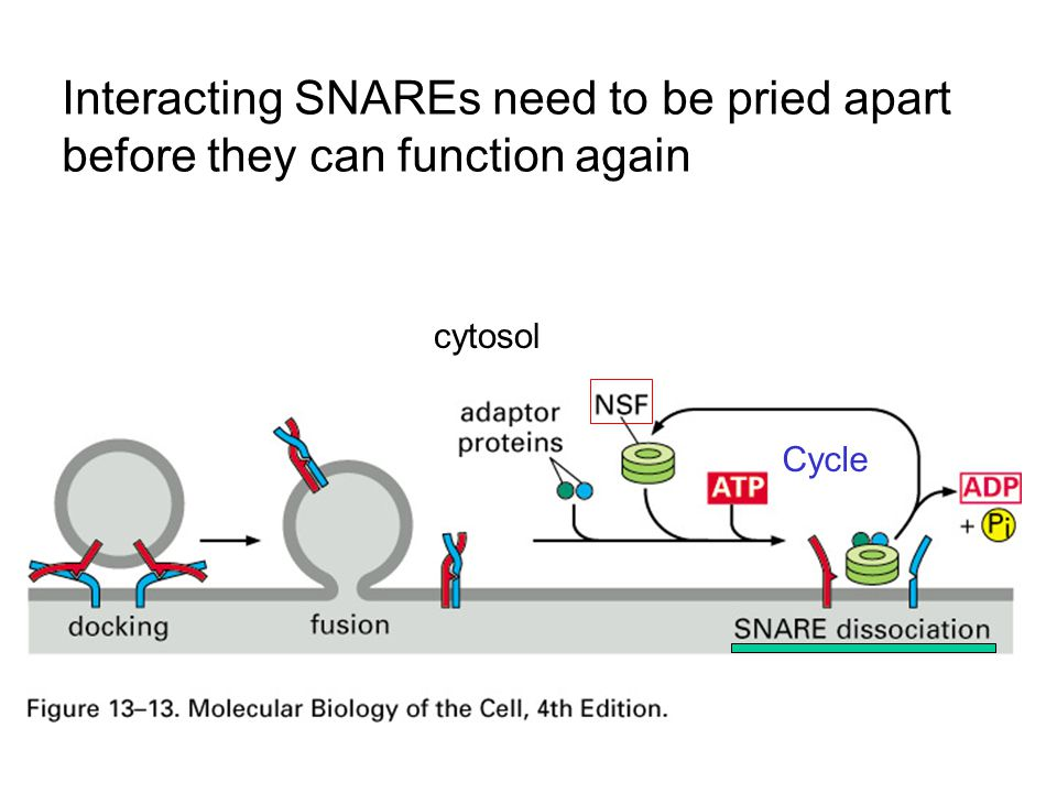 Interacting SNAREs need to be pried apart