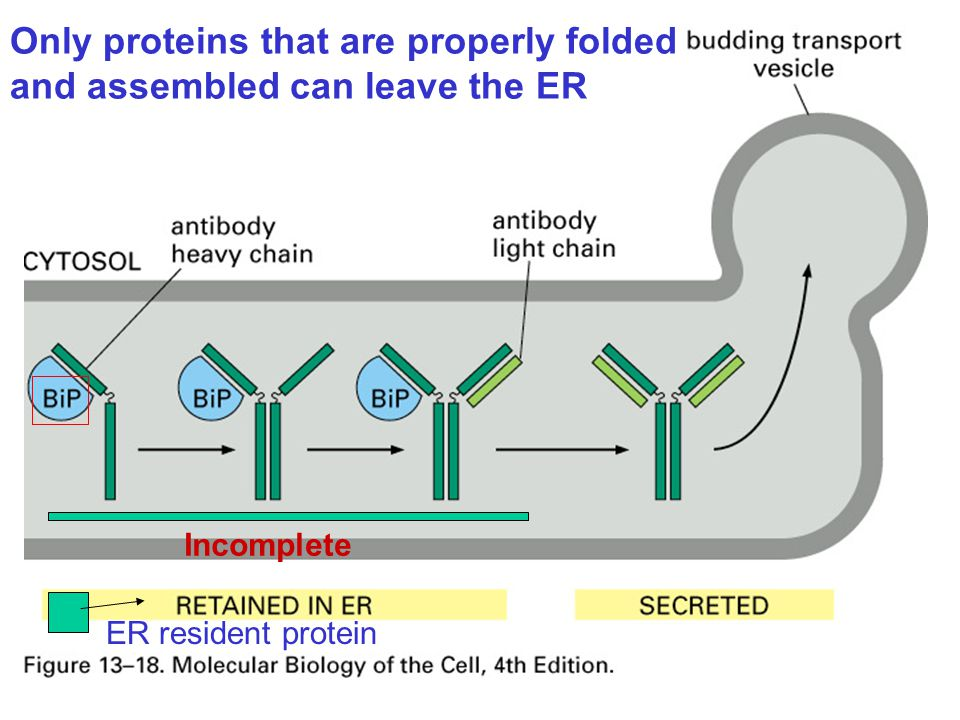 Only proteins that are properly folded and assembled can leave the ER