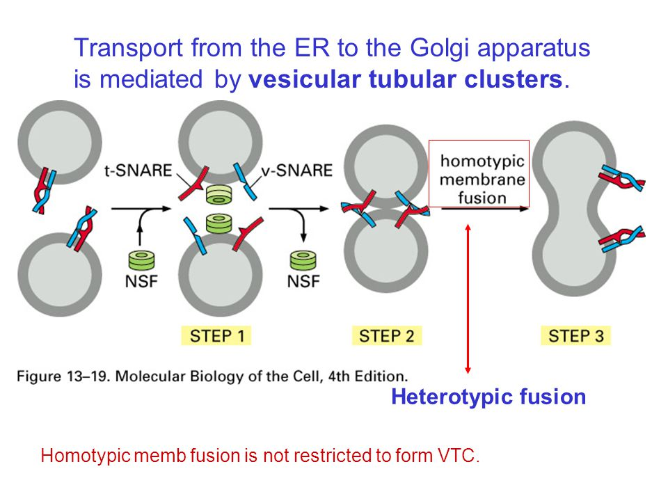 Transport from the ER to the Golgi apparatus