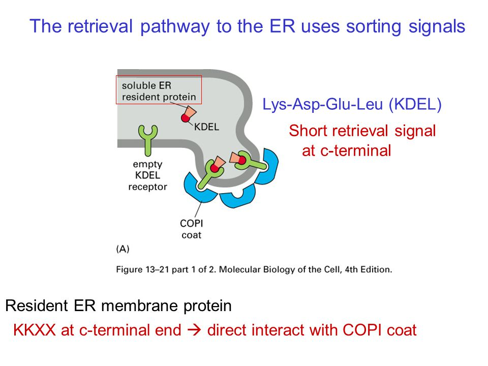 The retrieval pathway to the ER uses sorting signals
